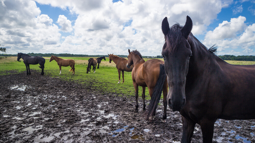 pipowagen voorschoten paarden