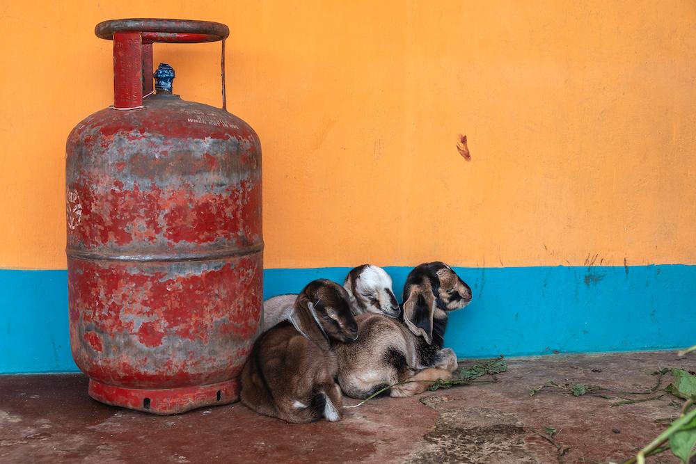 reisadvies india dieren
