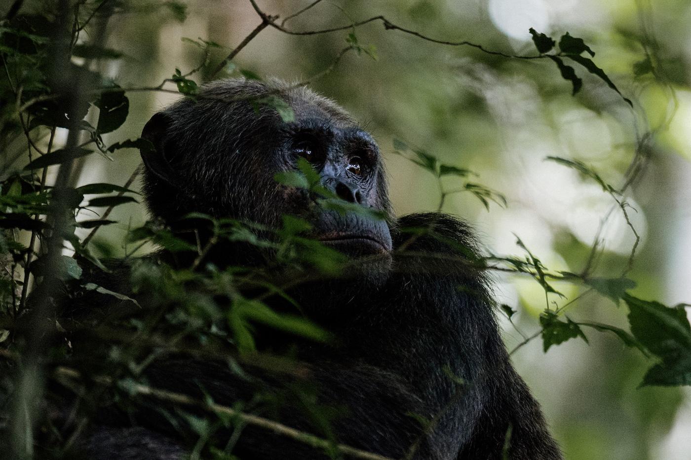 reizen rwanda chimpansee