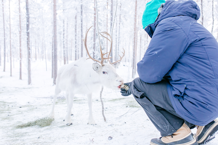 rendier lapland travel reis