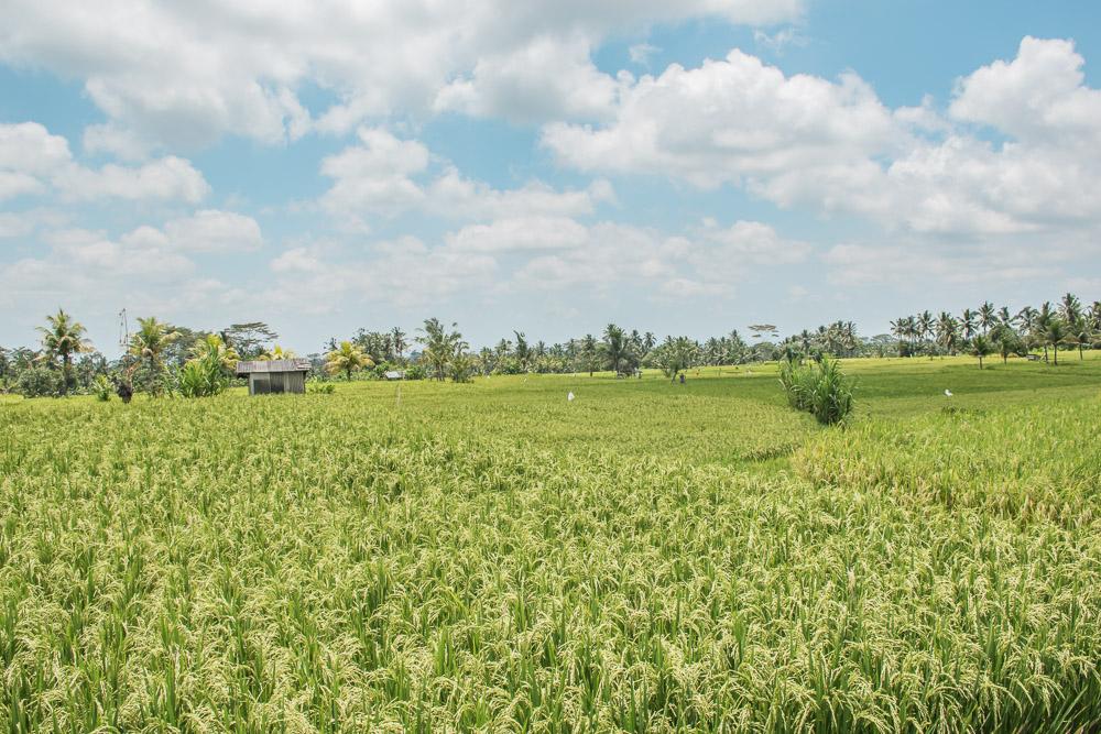 rijstvelden bali_-2