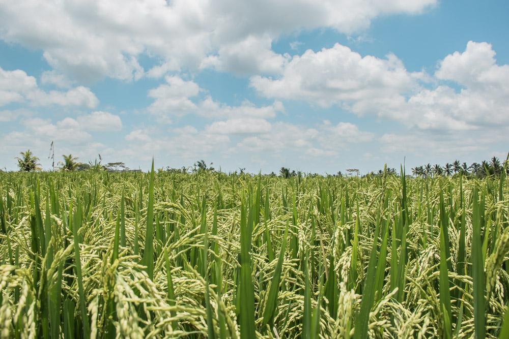 rijstvelden bali_-3