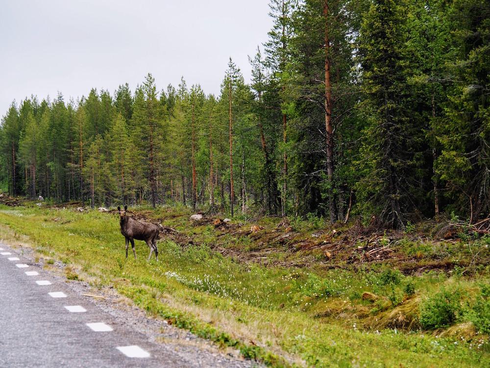 roadtrip eland lapland zomer