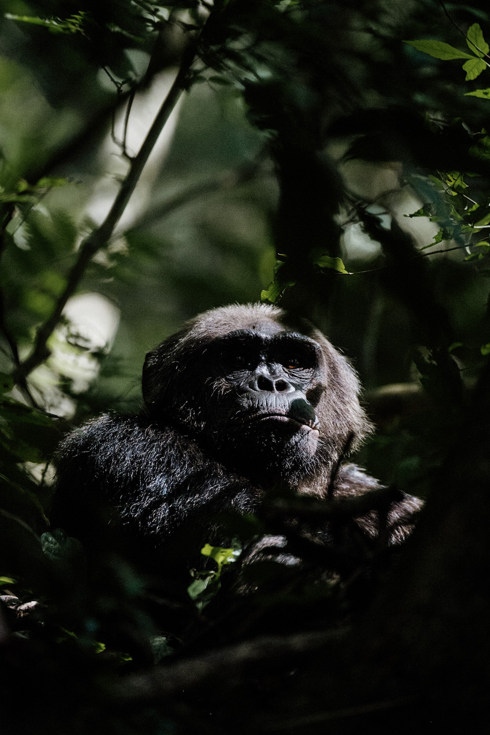 rwanda reizen chimpansee