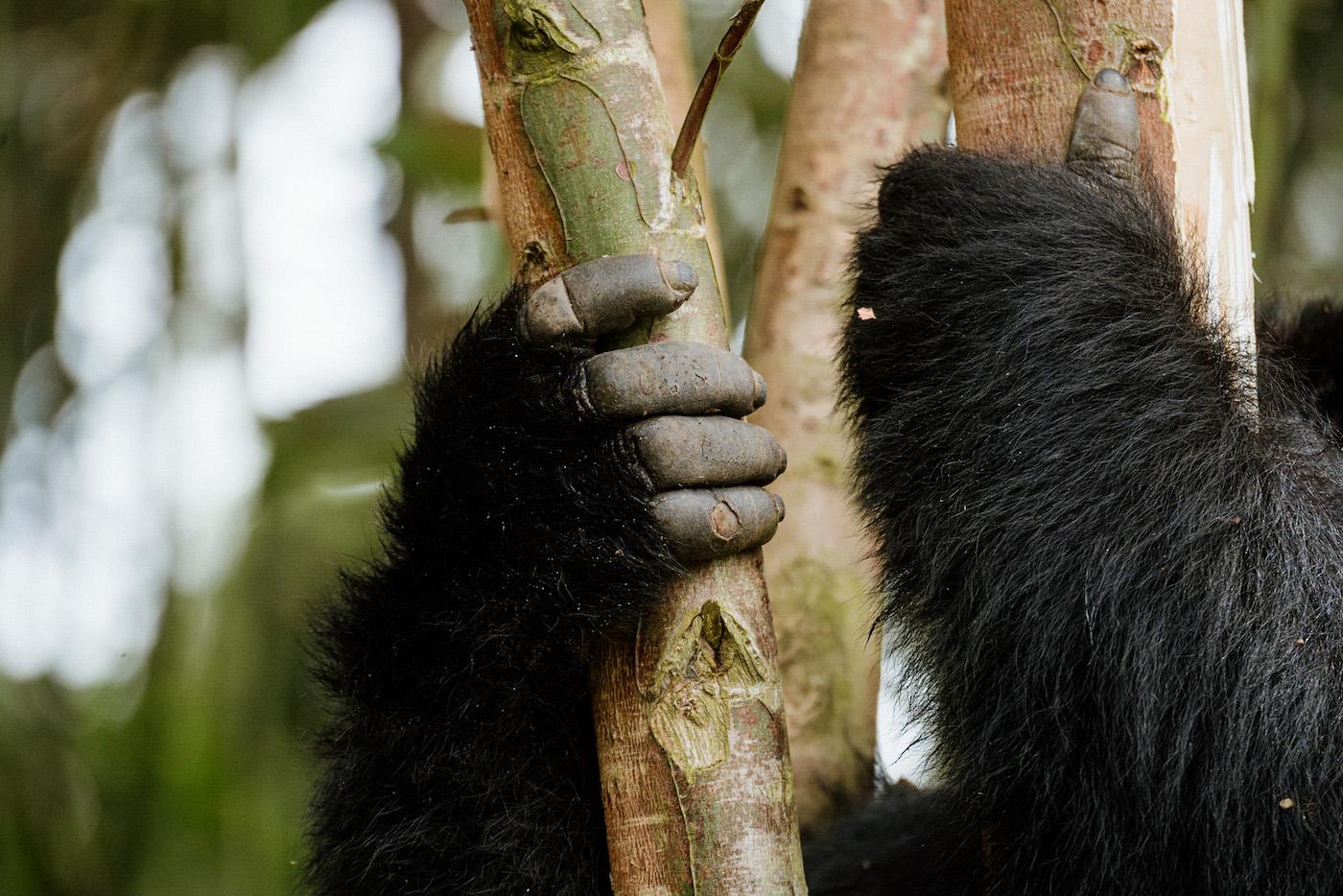 rwanda vakantie gorillas