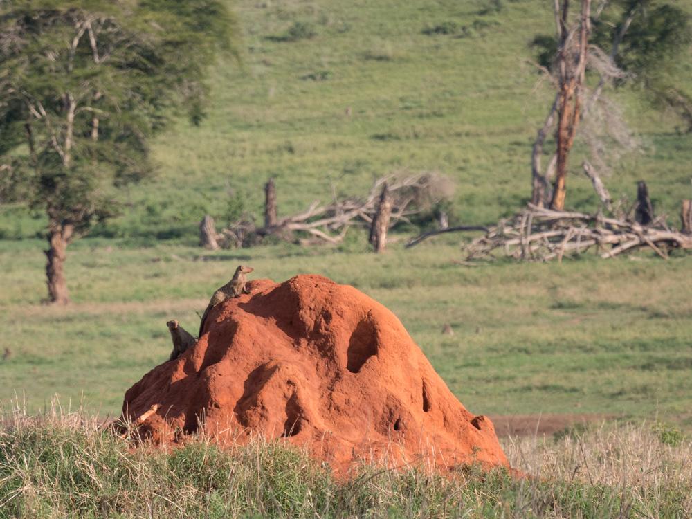 safari-kenia-timon-en-poemba