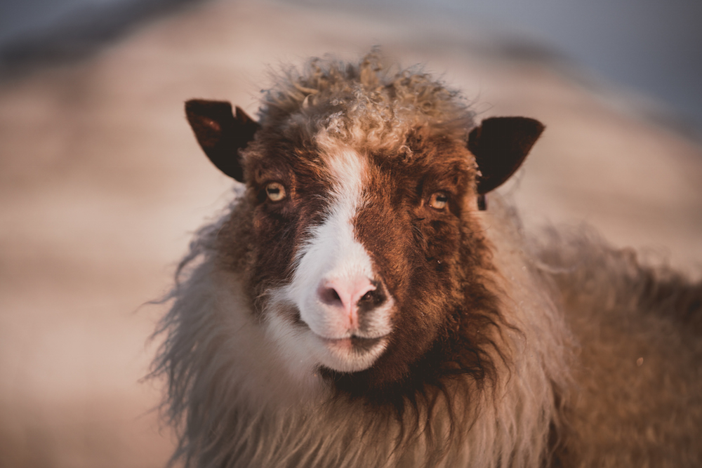 schaap Faroer Eilanden