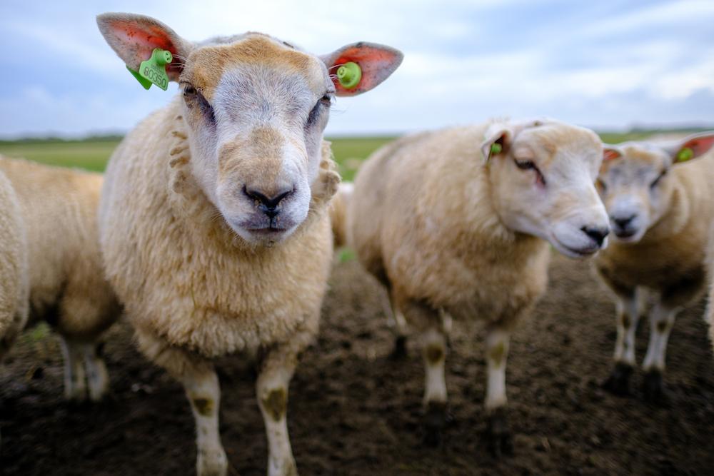 schapen op texel fietsvakantie fietsen