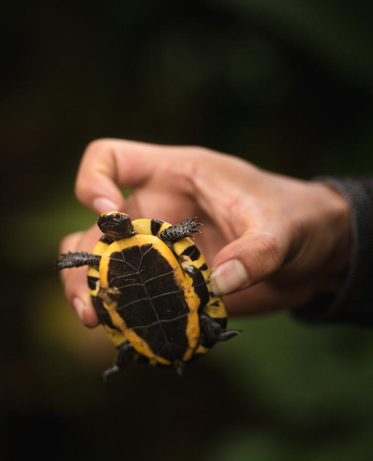 schildpad manu jungle