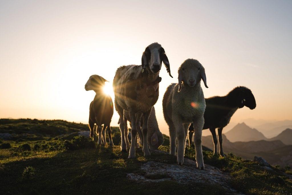 schladming dachstein schapen oostenrijk-31