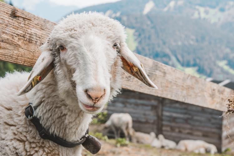 stedentrip salzburg Mountainbiken schapen