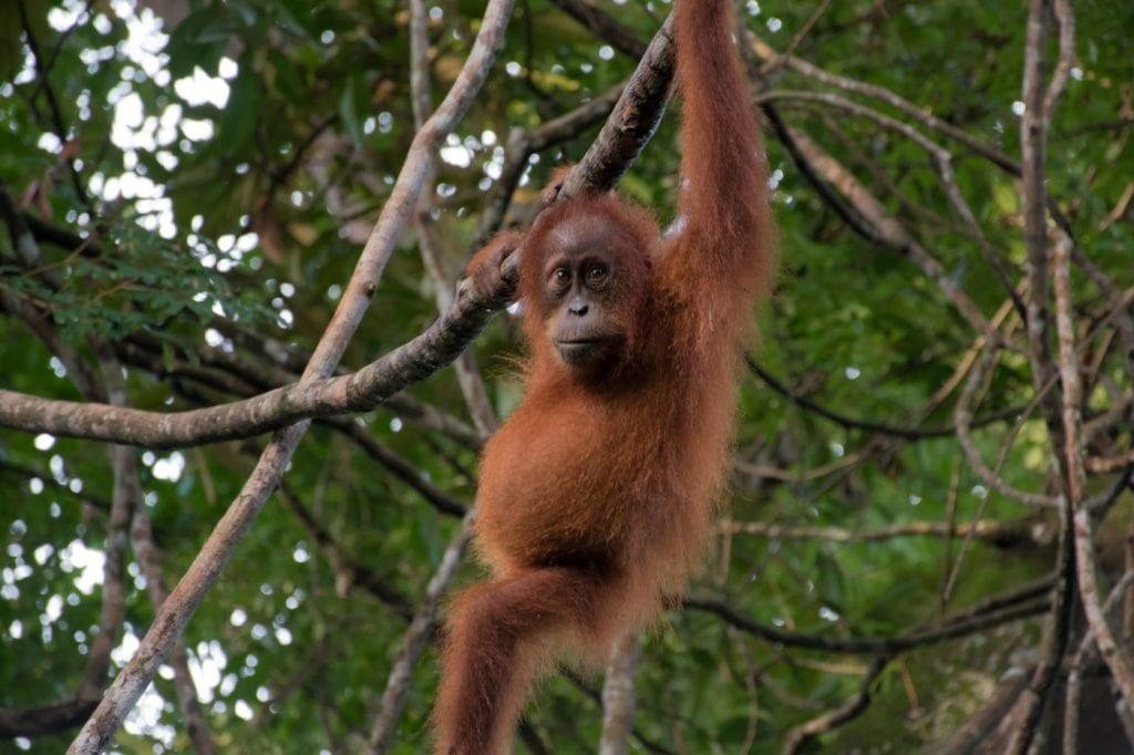 sumatra Orang-Oetan Bukit Lawang_-2