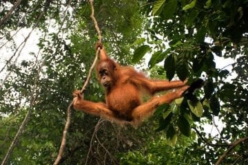 sumatra Orang-Oetan Bukit Lawang_