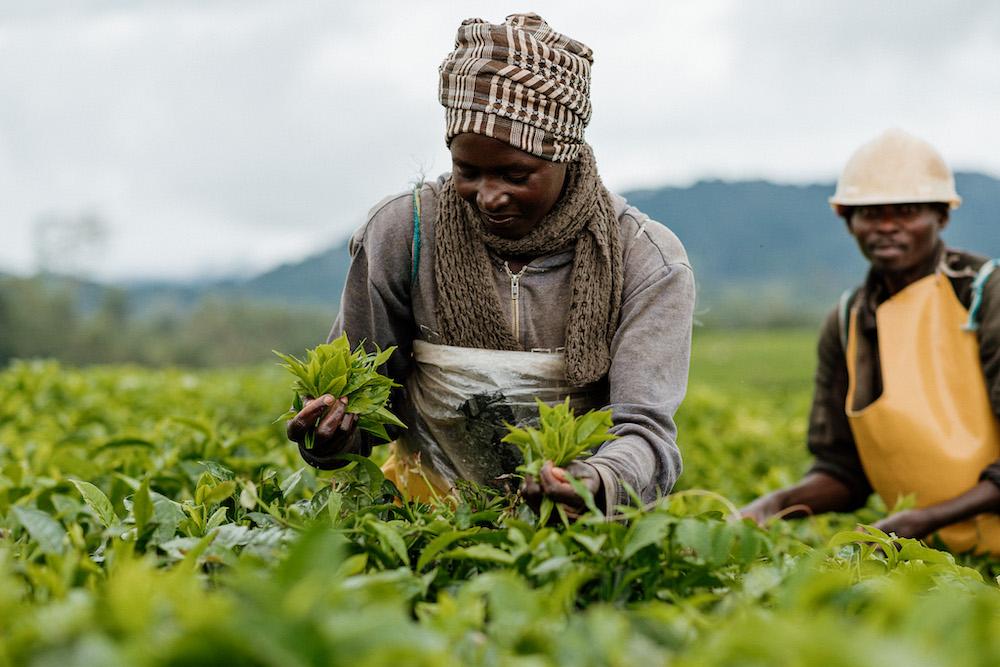 thee plantage rwanda reizen