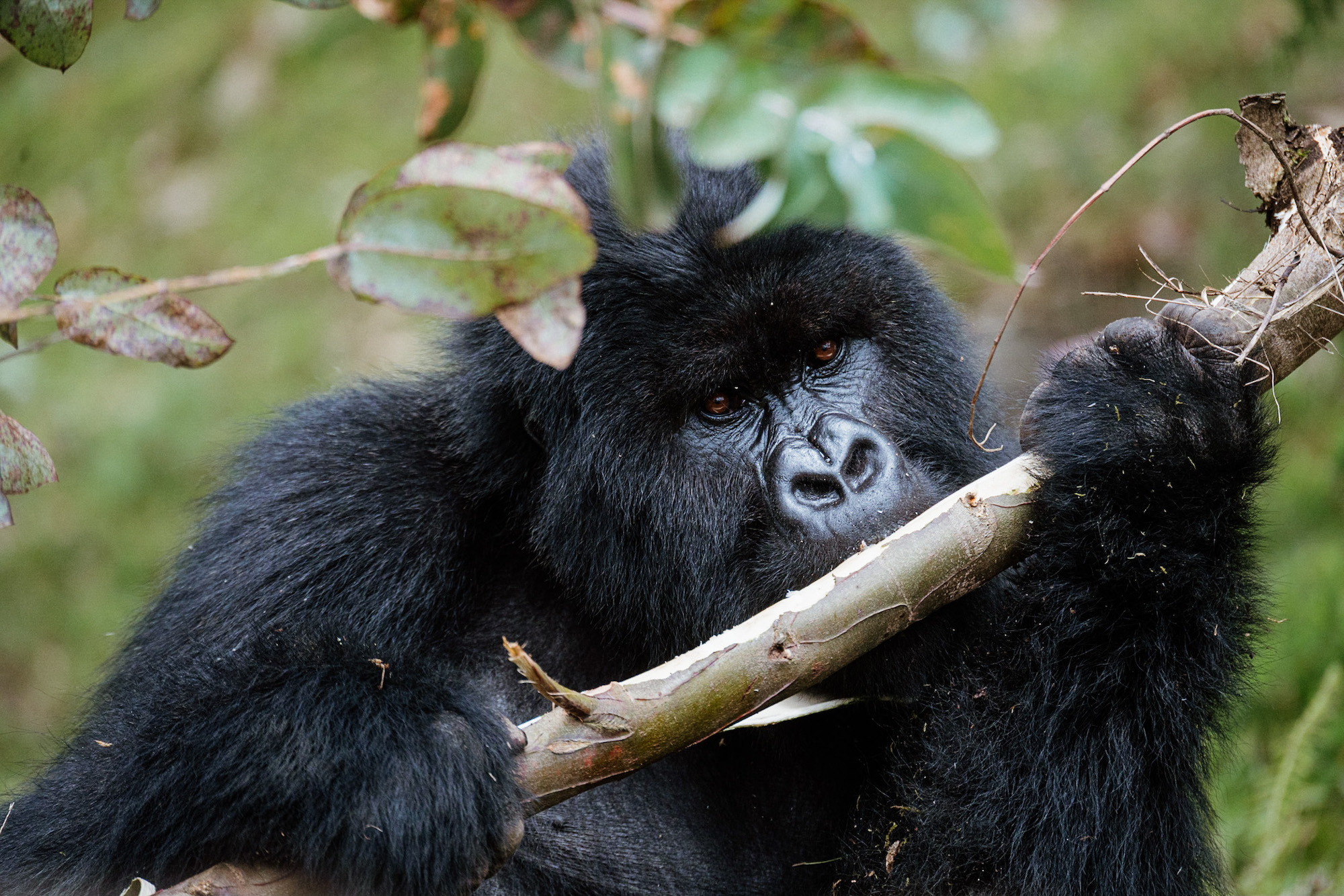 vakantie rwanda gorilla spotten