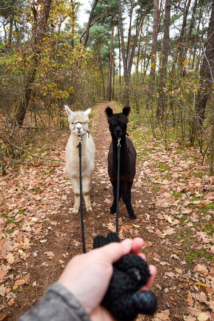 verrassingsreis nederland srprs.me alpaca wandeling