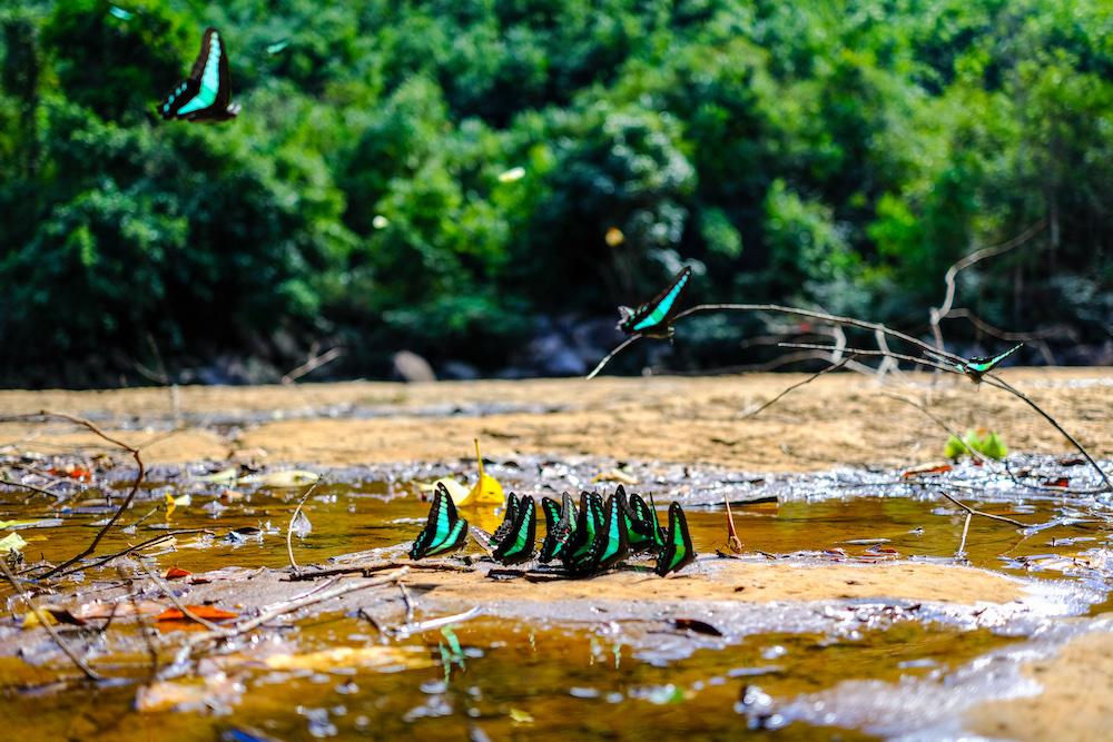 vlinders laos