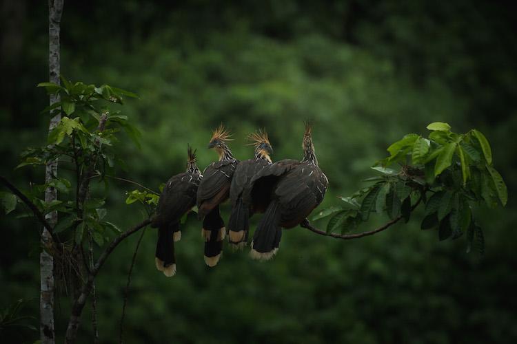 vogels manu jungle peru dieren