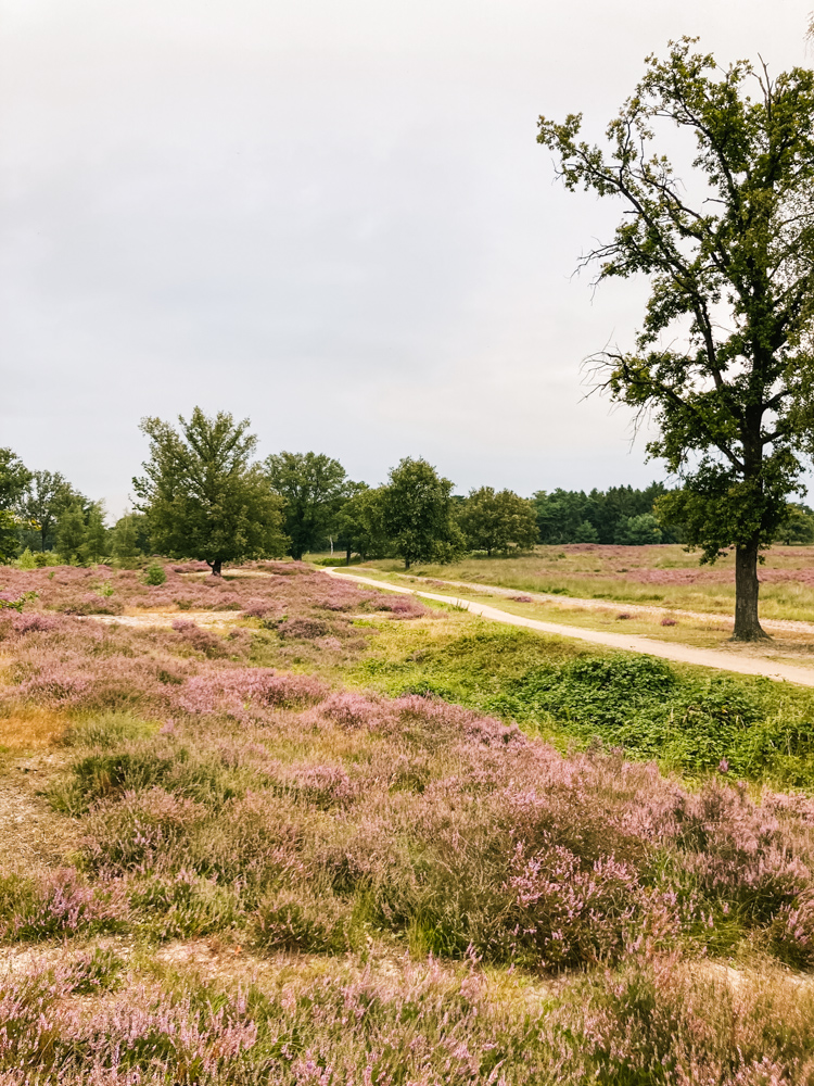 wandelen kampina natuurgebied paarse heide
