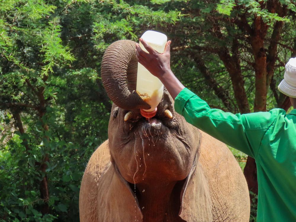 wat te doen in nairobi kenia Sheldricks Elephant Orphanage