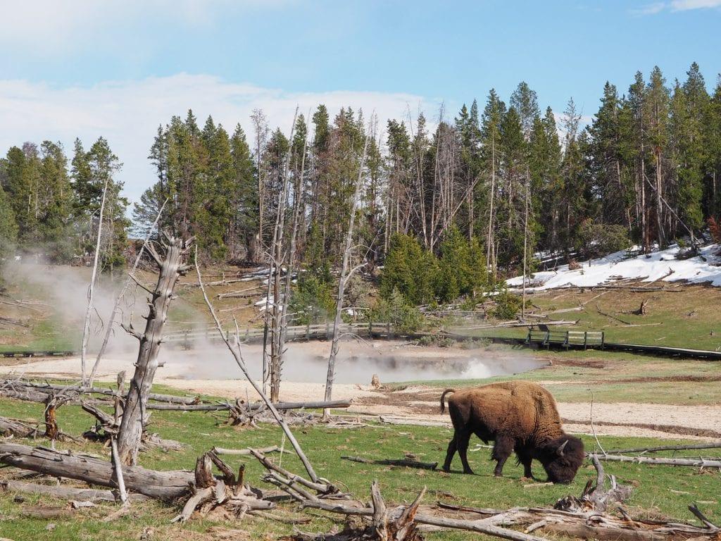 Wat te doen in yellowstone bisons