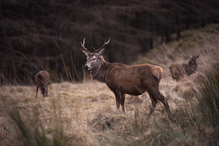 winter in schotland Glencoe en Glen Etive hert