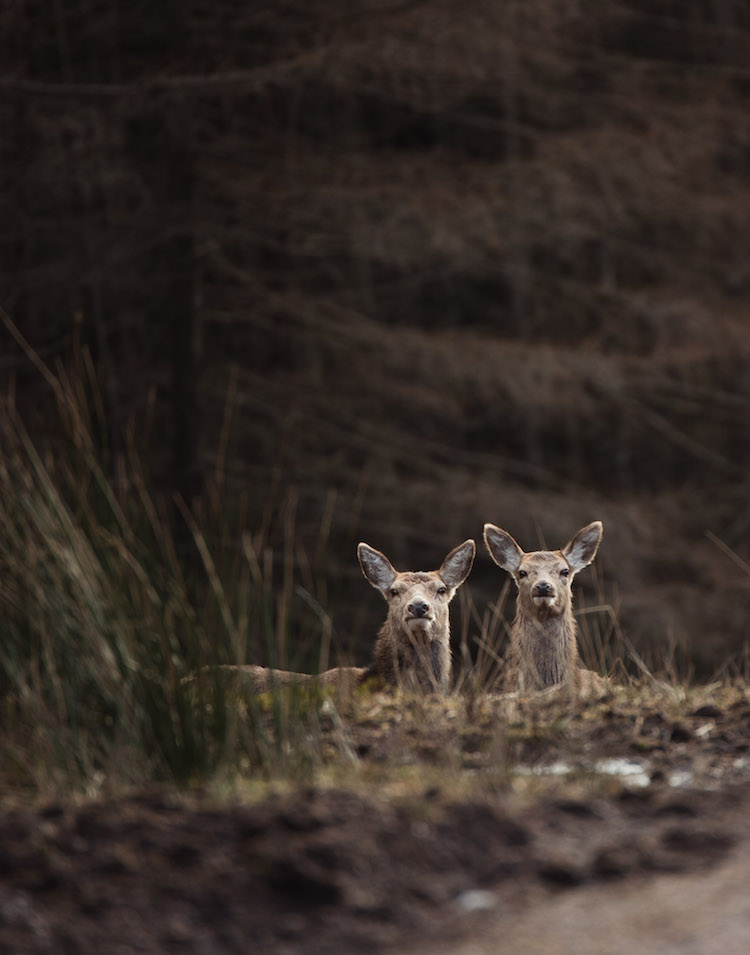 winter schotland Glencoe en Glen Etive herten
