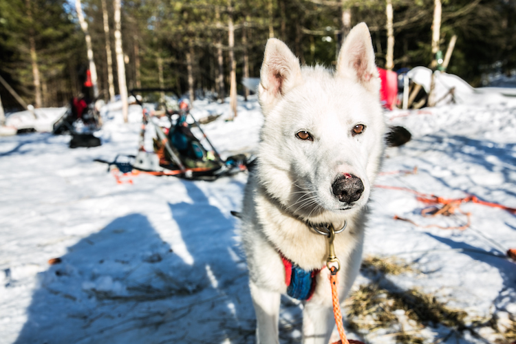 witte husky huskytocht lapland finland
