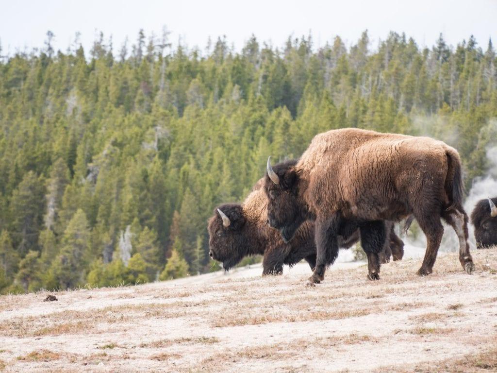 yellowstone-national-park-bison-groep-rondreis.