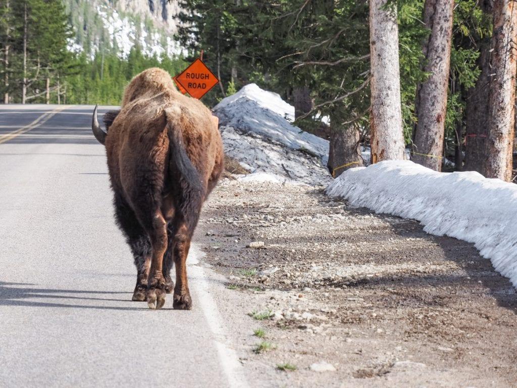 yellowstone national park bison op de weg